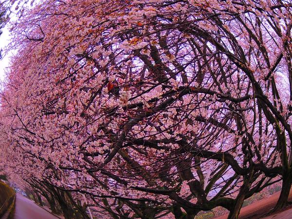 桜の巣.jpg